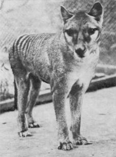 tazmanian-tiger